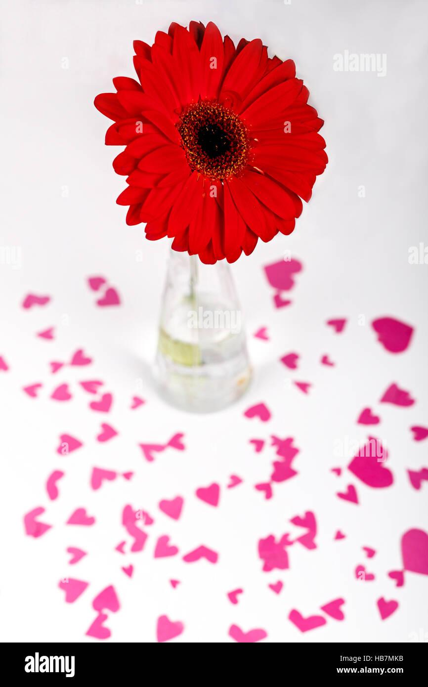 San Valentino concetto. Cuore rosso forma. rosso fiore di gerbera in un vaso. White backround. Messa a fuoco selettiva. Foto Stock