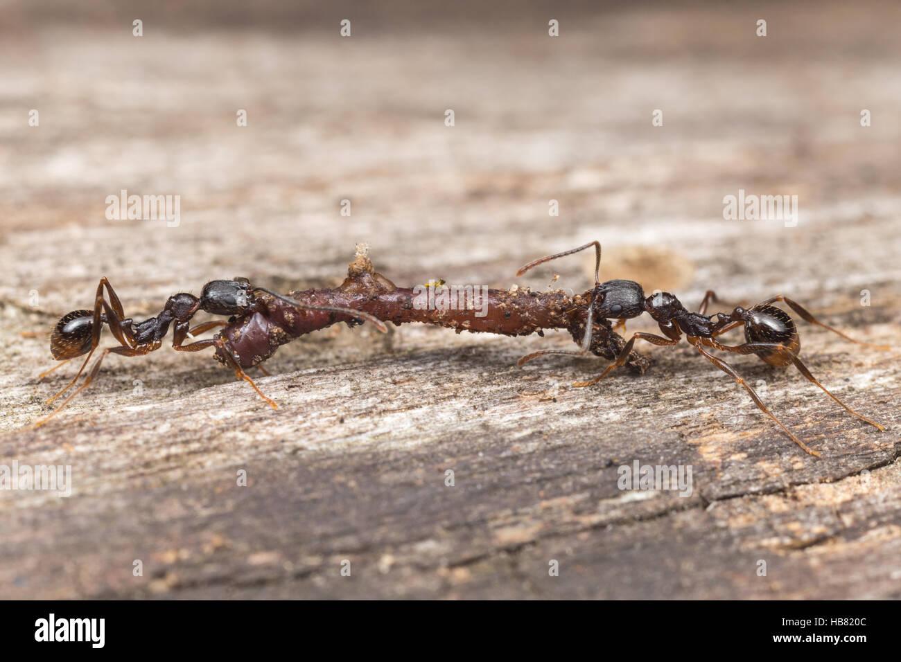 Due dorso-cintata Ant (Aphaenogaster picea) lavoratori portano spazzato il cibo, un lombrico, torna a loro nido. Immagini Stock