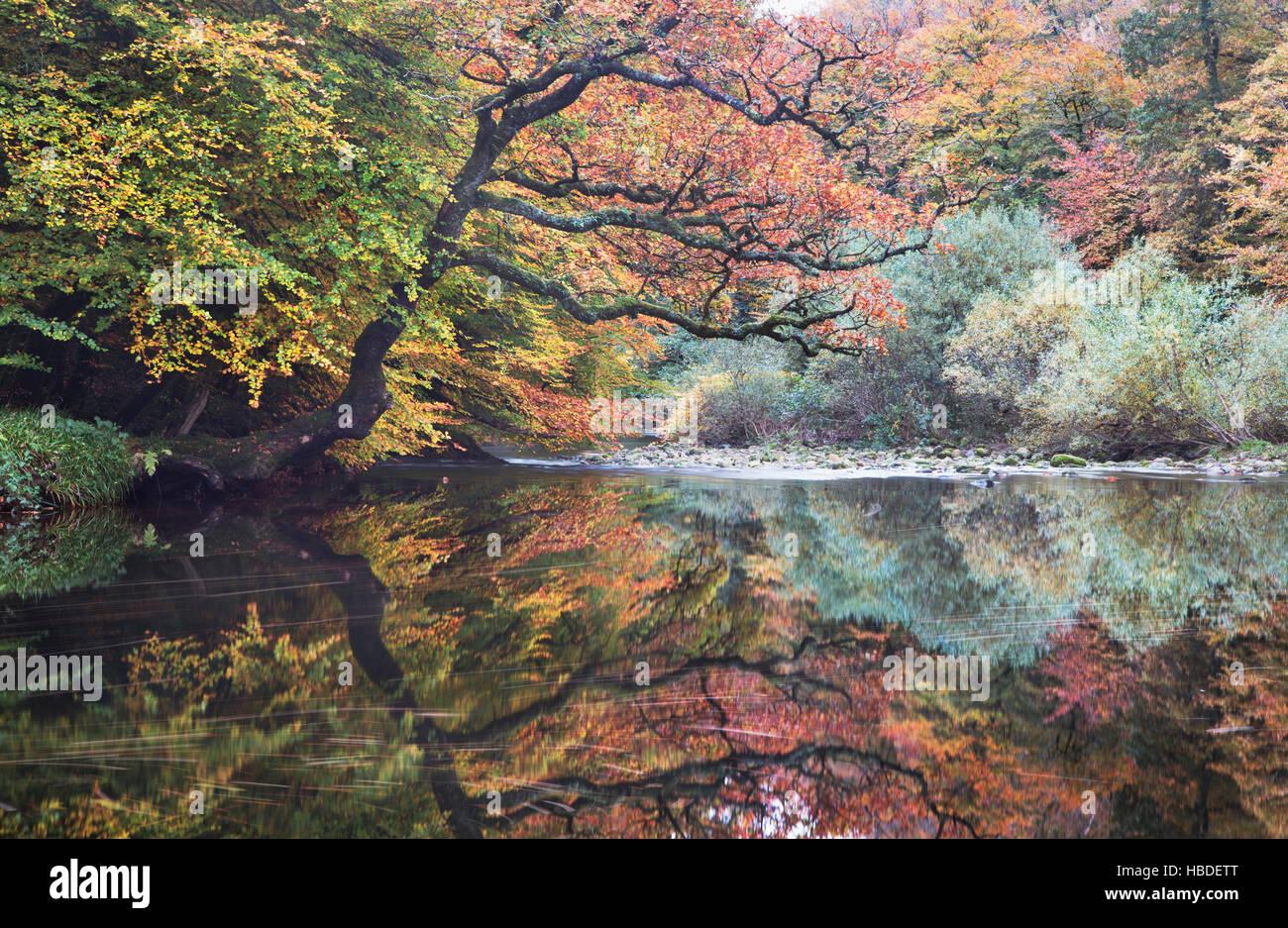 Il fiume Dart passando attraverso il legno Hembury nel Devon, Regno Unito, con i colori autunnali degli alberi Immagini Stock