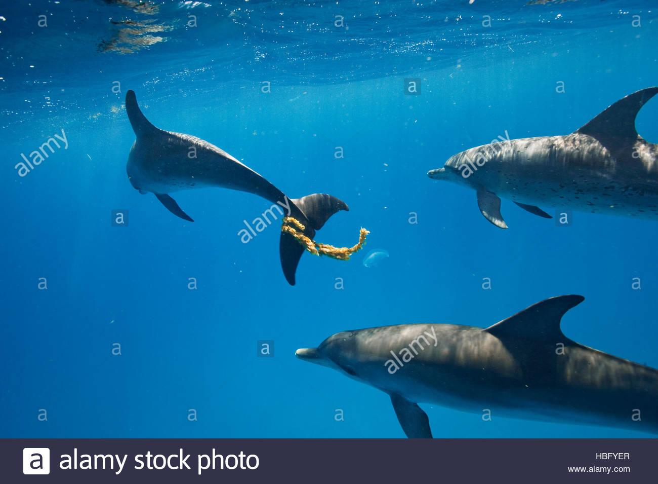Delfino macchiato atlantico giocare con alghe marine nelle acque al largo di Bimini nelle Bahamas. Immagini Stock