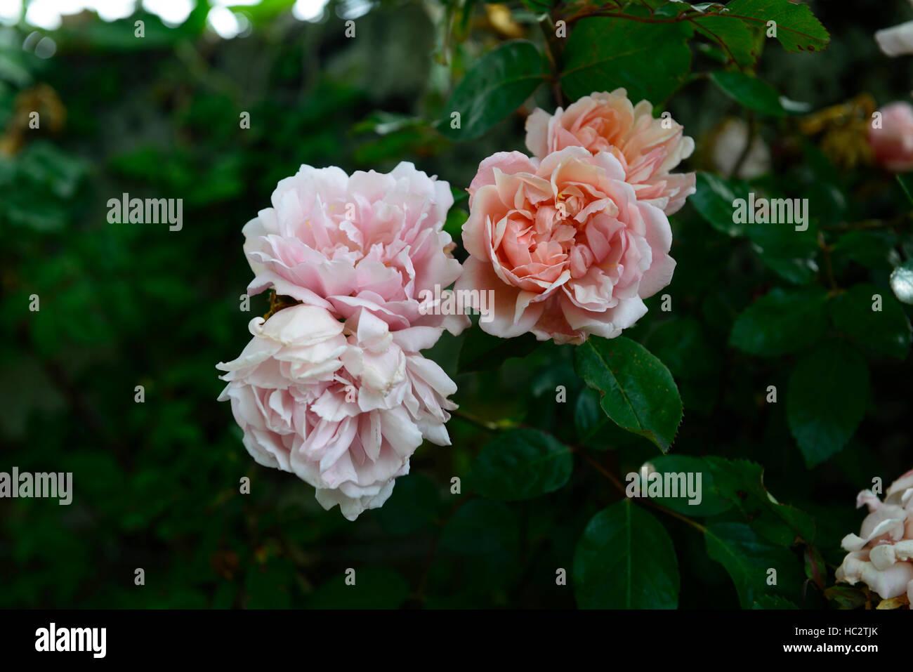 Rose Rampicanti Senza Spine thornless rose immagini & thornless rose fotos stock - alamy