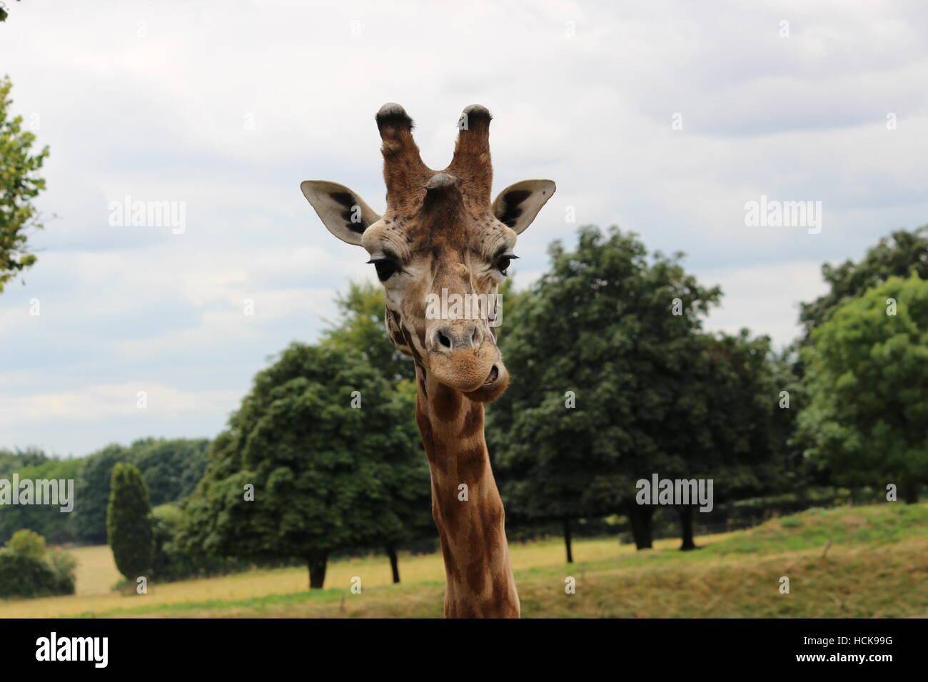 La giraffa ritratto Cotswold Wildlife Park giovane adolescente orgoglioso headshot parlando di testa Immagini Stock