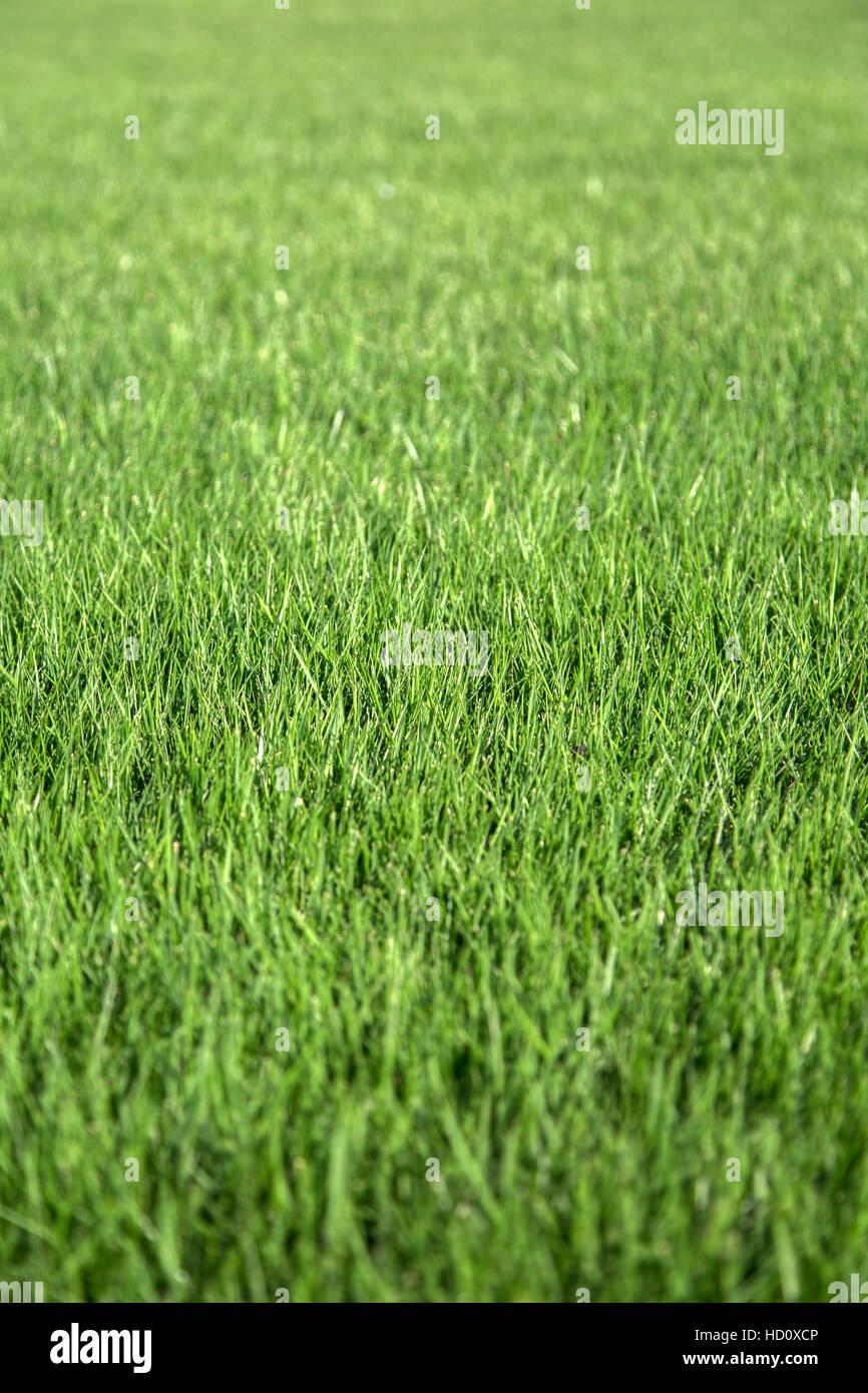 Vista ravvicinata a erba verde Immagini Stock