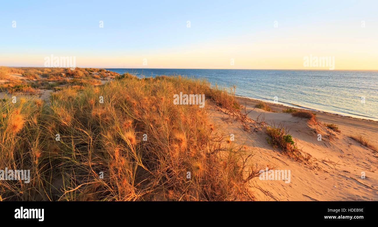 Spinifex longifolius, comunemente nota come spiaggia spinifex, crescono sulle colline di sabbia in spiaggia cittadina Immagini Stock