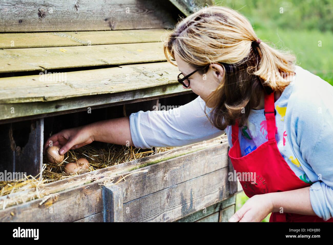 Una donna prendendo le uova da un pollaio. Immagini Stock