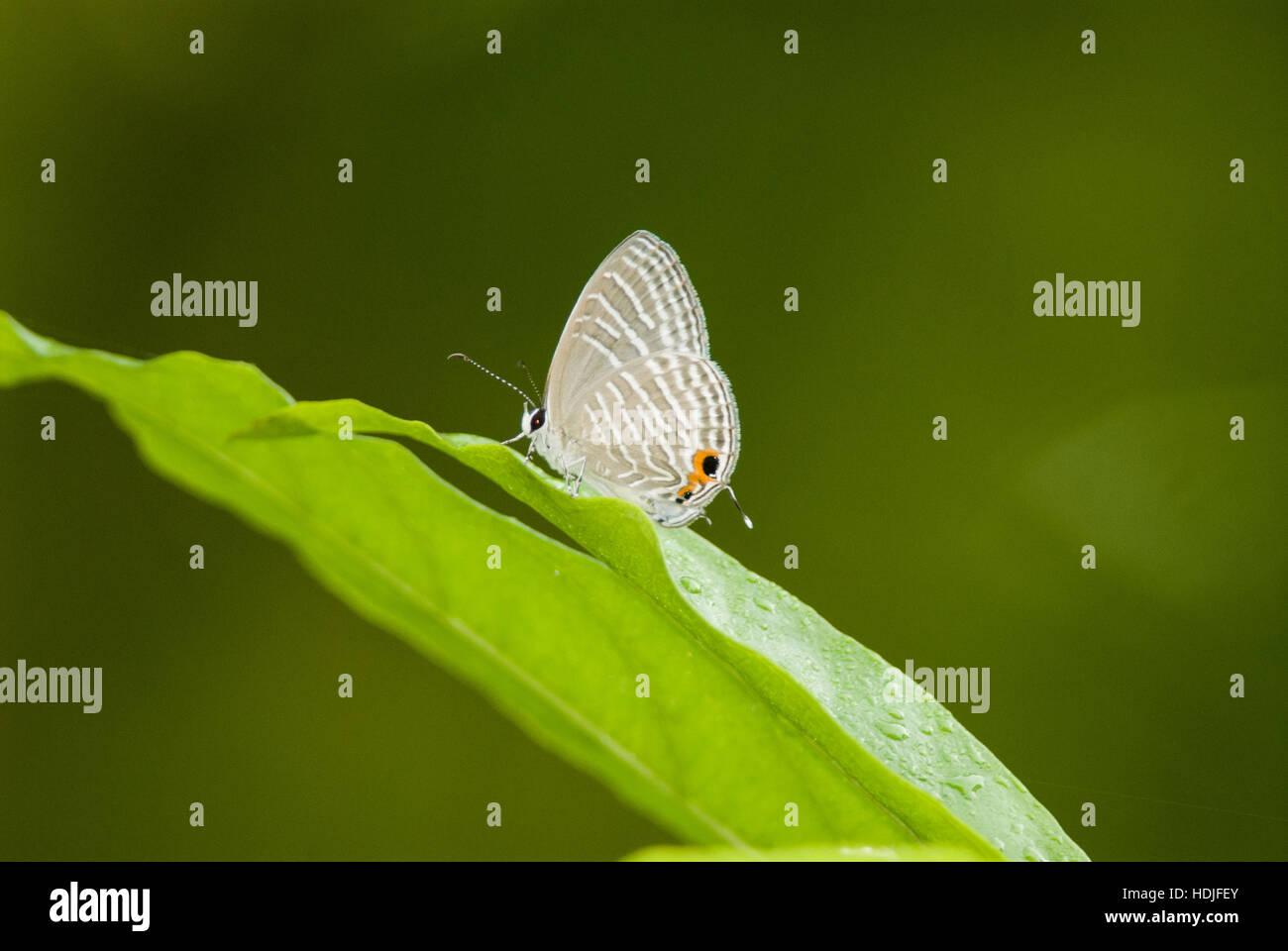Ciliato comuni specie di farfalle Immagini Stock