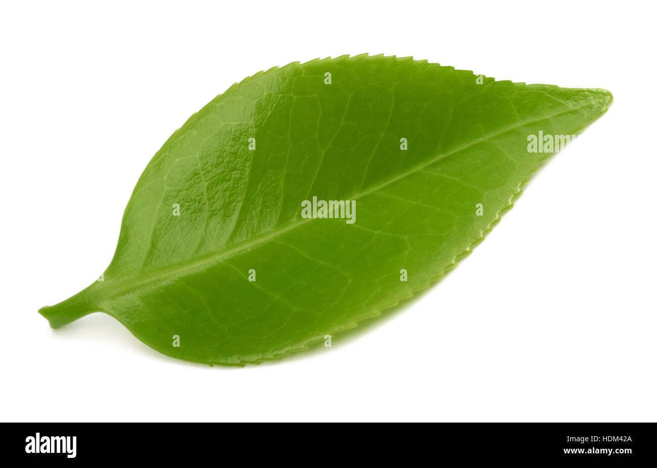 Le foglie di tè isolati su sfondo bianco Immagini Stock