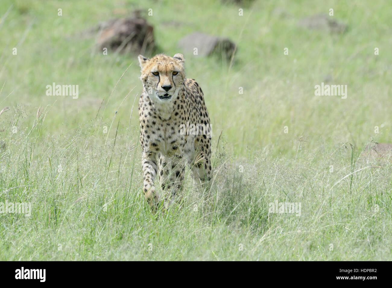 Ghepardo (Acinonix jubatus) camminando sulla savana, il Masai Mara riserva nazionale, Kenya Immagini Stock