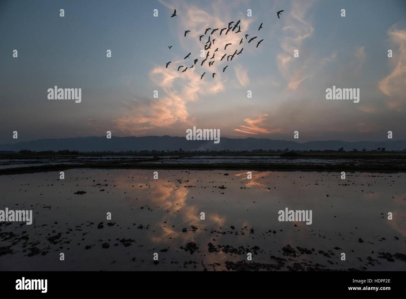 Uno stormo di uccelli in volo su un campo allagato in Nyaungshwe, Myanmar. Immagini Stock