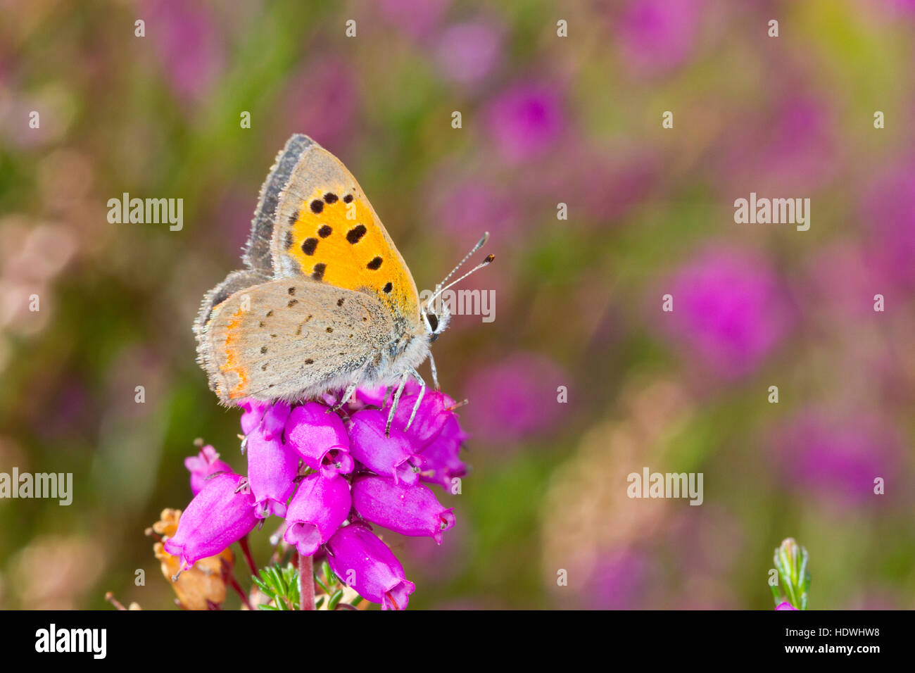 Piccola di rame (farfalla Lycaena phlaeas) maschio adulto appollaiato sulla campana heather. Powys, Galles. Settembre. Immagini Stock