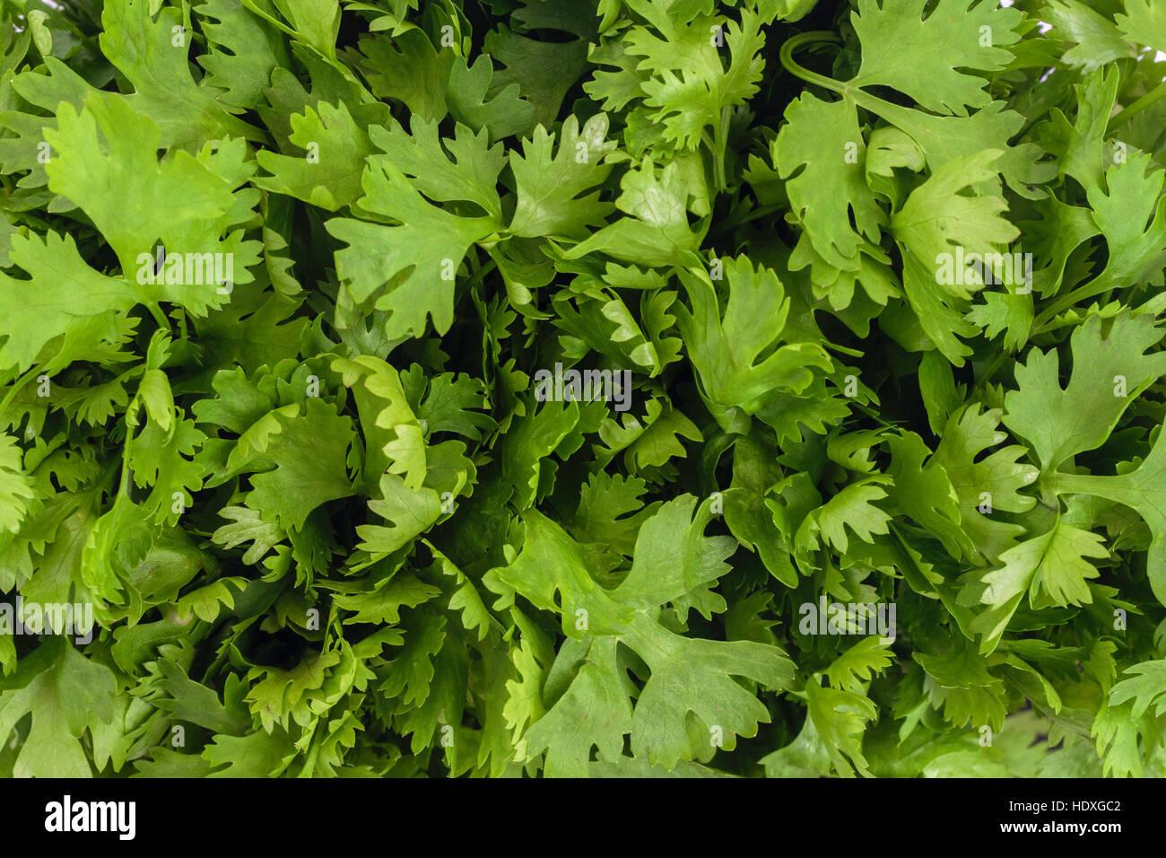 Il coriandolo o foglie di coriandolo (Coriandrum sativum) lascia closeup sfondo Immagini Stock