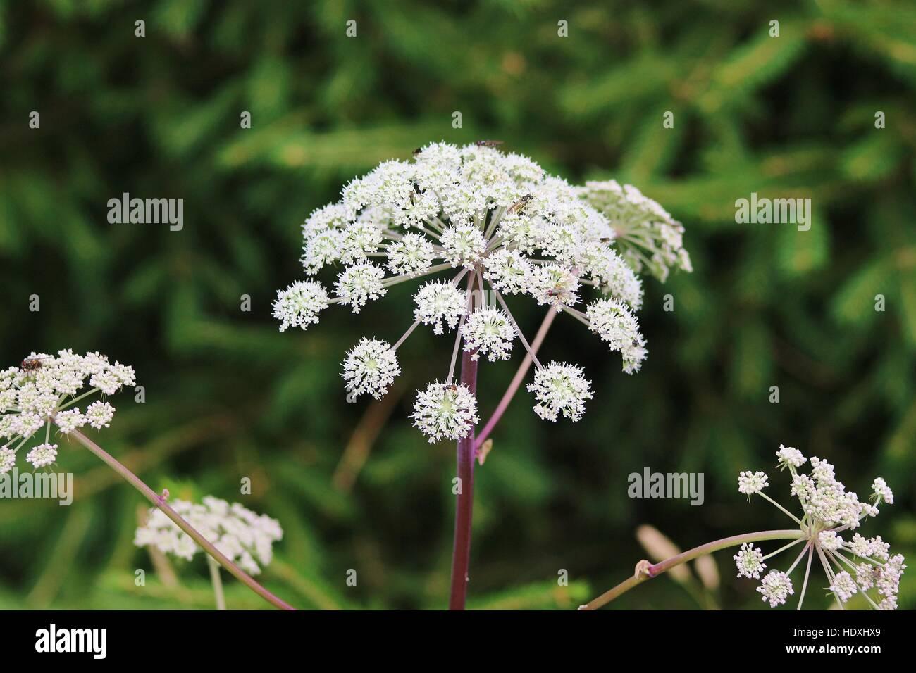 Ritratto di un comune achillea, insetti vari seduta su di esso. Nella riserva naturale di Kinnekulle area in Svezia, Immagini Stock