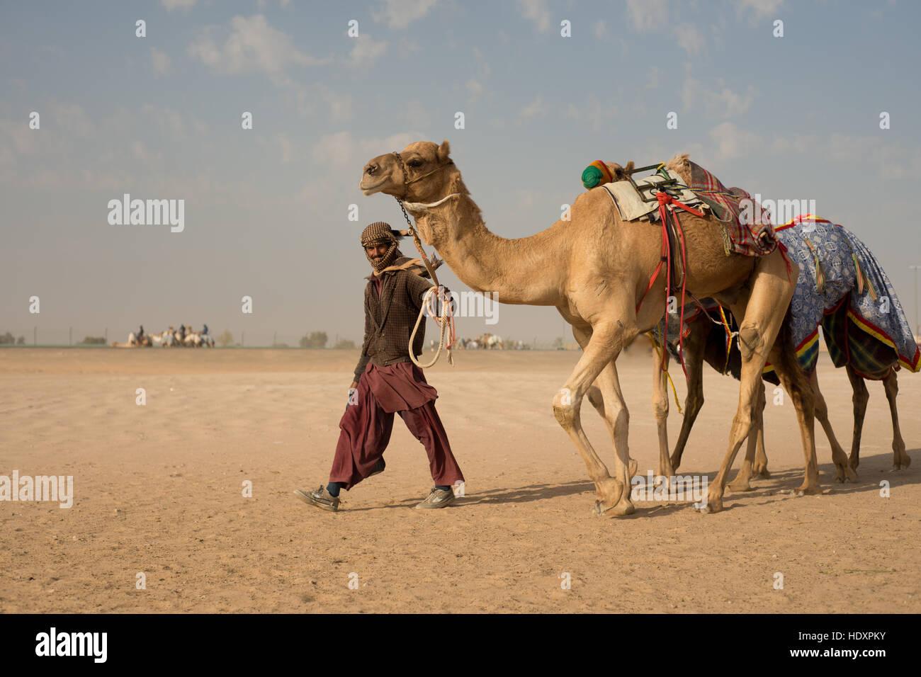 Camel herder a piedi con i cammelli, Dubai Immagini Stock