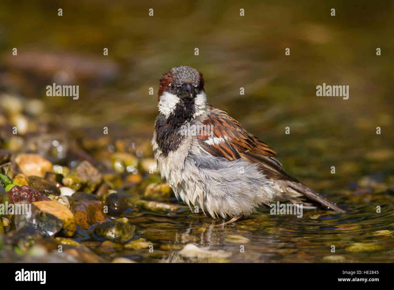 Casa passero (Passer domesticus) maschio di balneazione in acque poco profonde di brook Immagini Stock