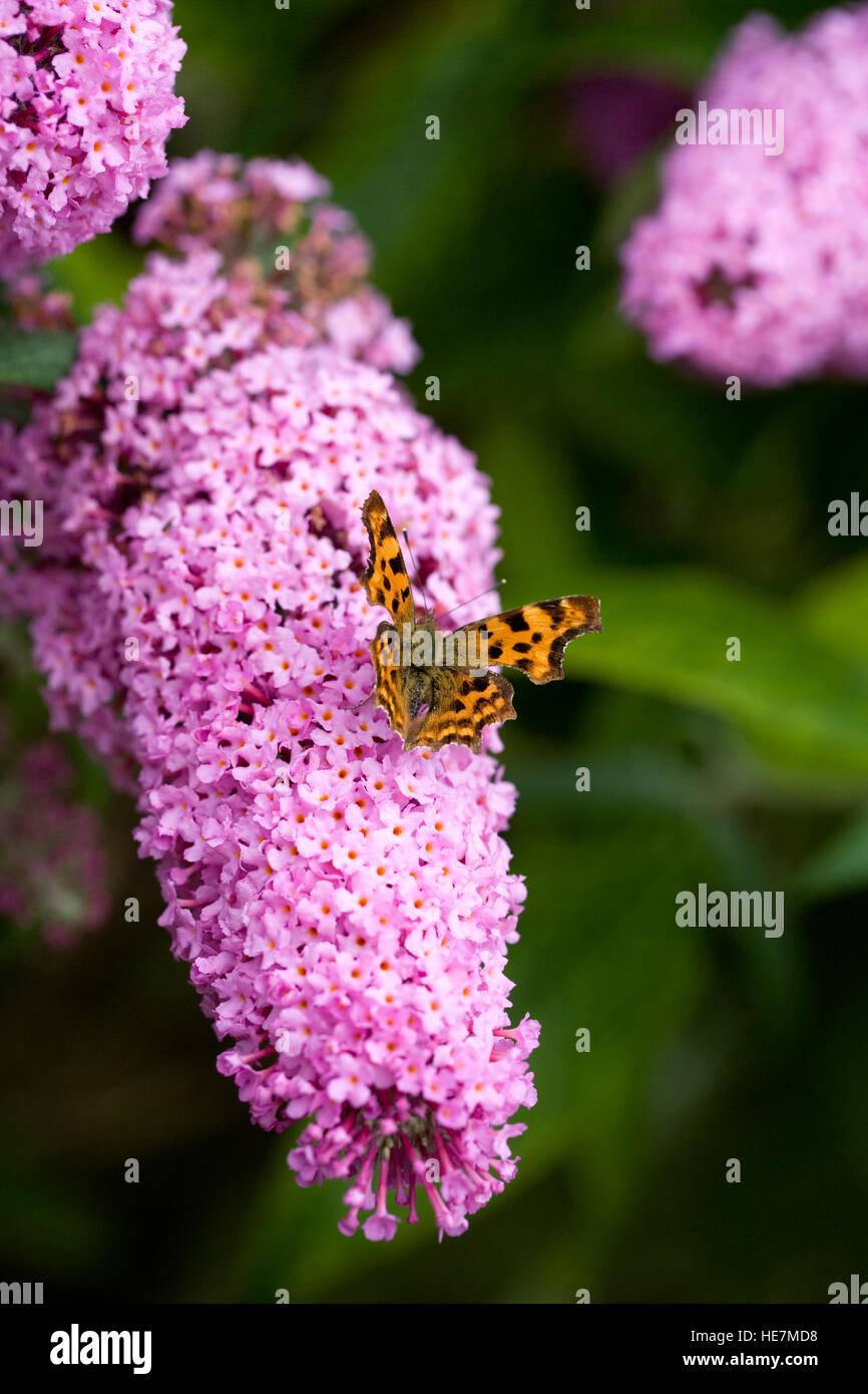 "Buddleja x pikei 'Pink Delight"". Virgola farfalla sulla Buddlehia fiore. Immagini Stock"