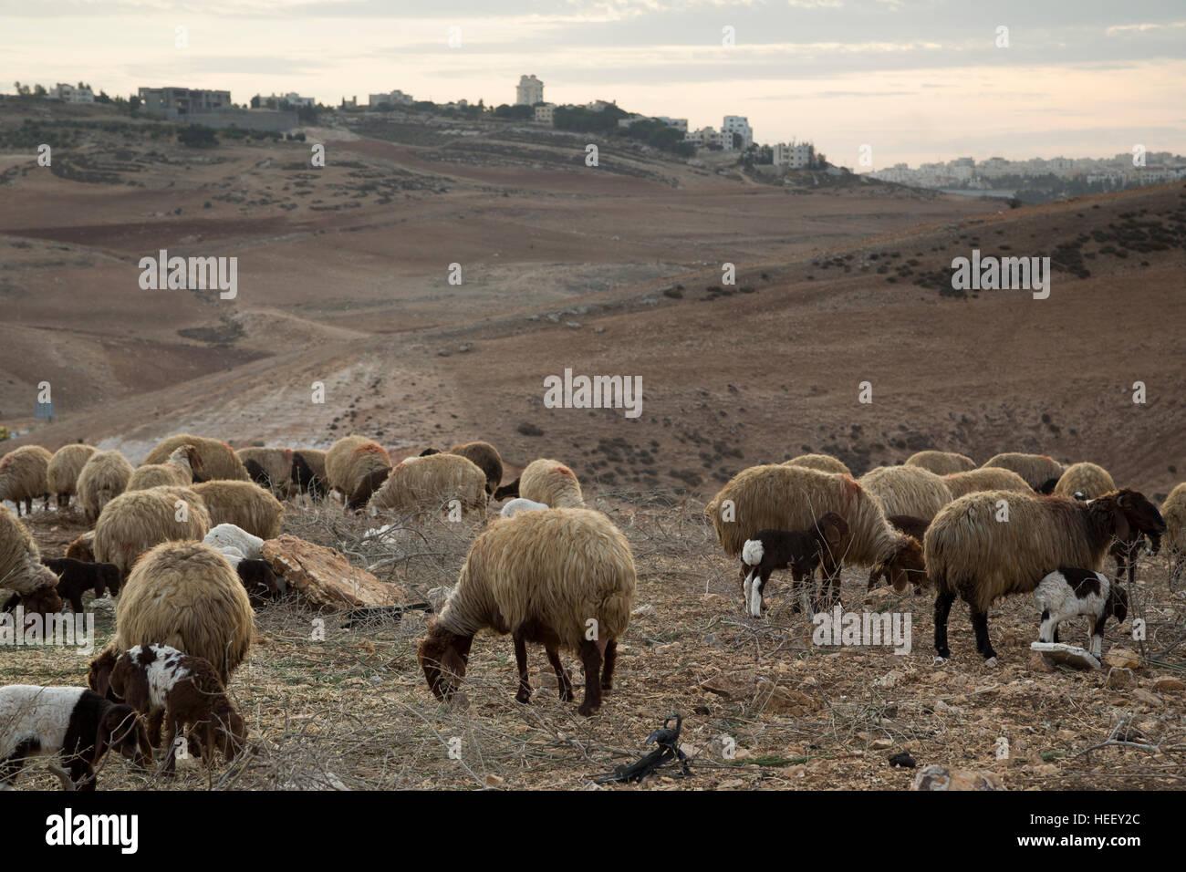 Le pecore sono ammassati in Amman, Giordania. Immagini Stock