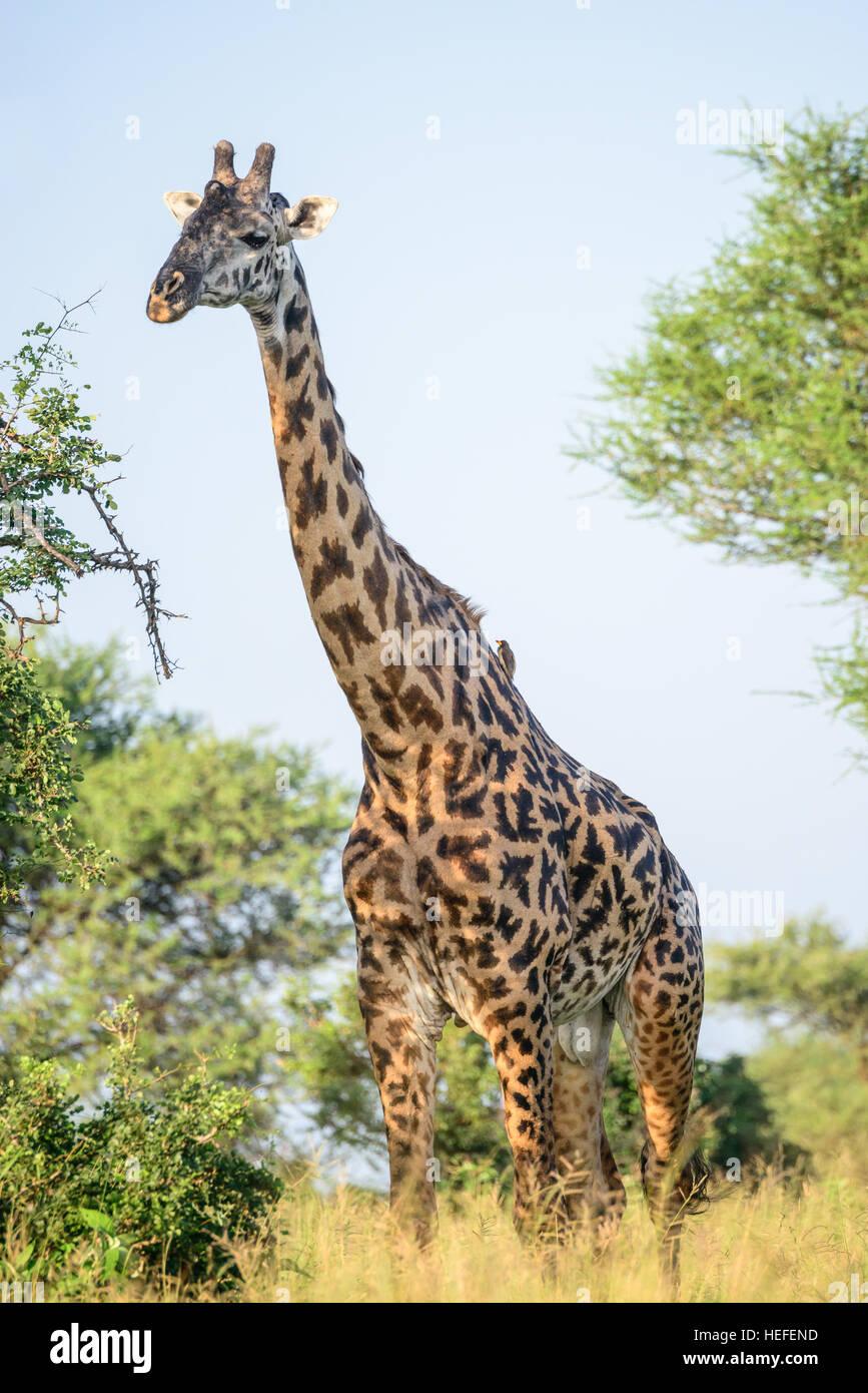 Un maschio adulto Masai giraffe (Giraffa tippelskirchi) con ossicones calva e un rigonfiamento mediano nella savana Immagini Stock
