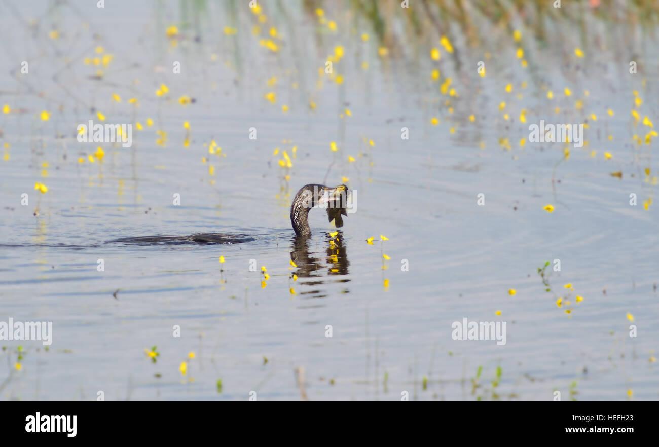 Poco cormorano mangiare pesce in natura. Immagini Stock
