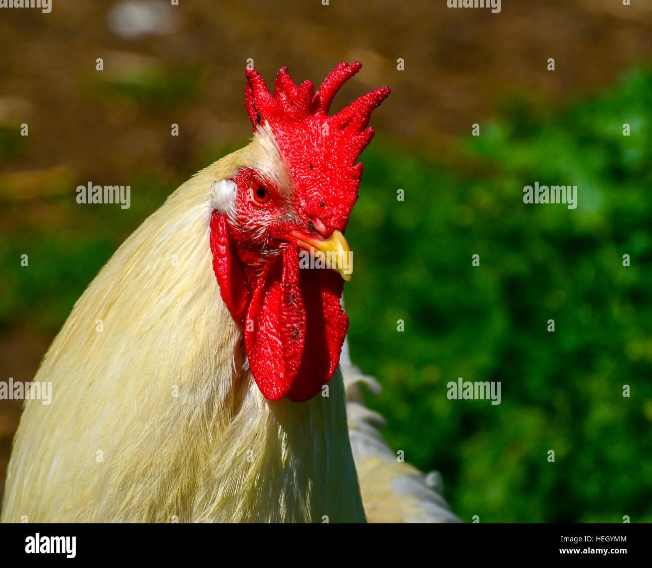 Il gallo sulla fattoria di pollo. Immagini Stock