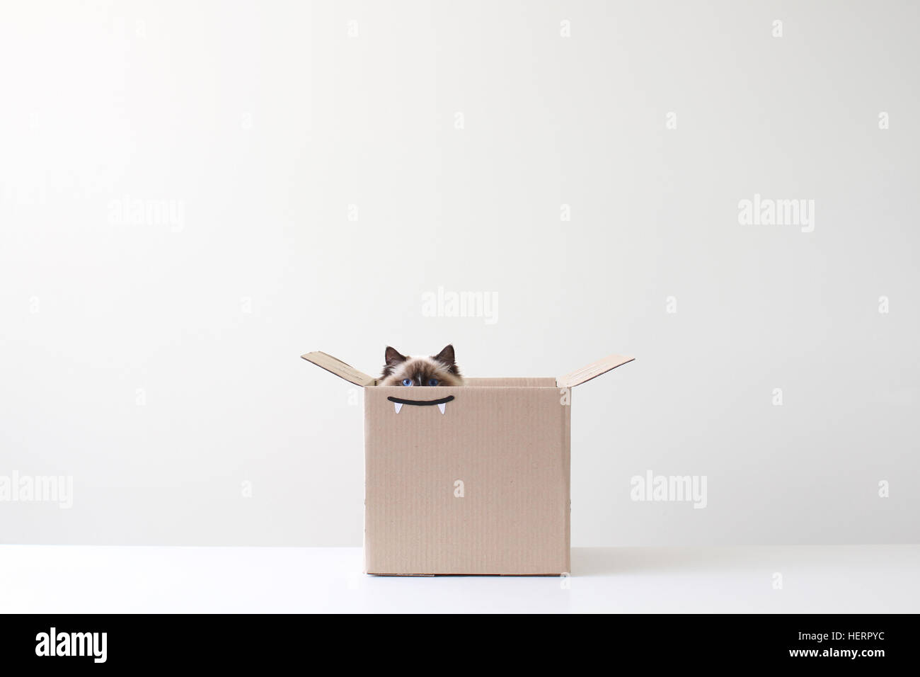 Gatto Ragdoll nascondere in una scatola di cartone con denti vampiro disegno Immagini Stock