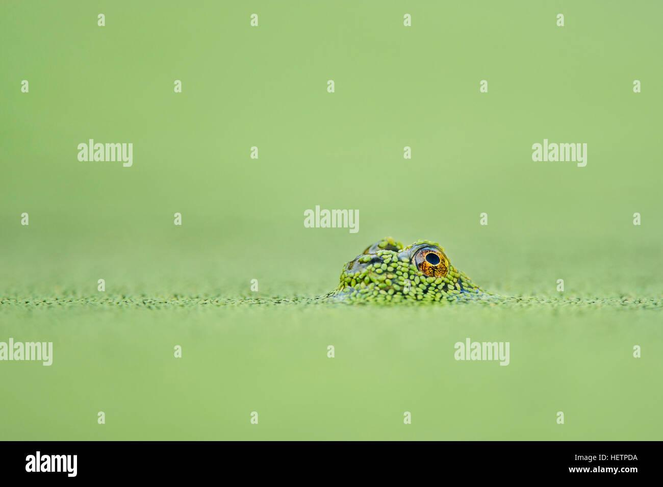Un minuscolo frog un occhio è visibile appena al di sopra della superficie del solido verde lenticchie d'acqua Immagini Stock