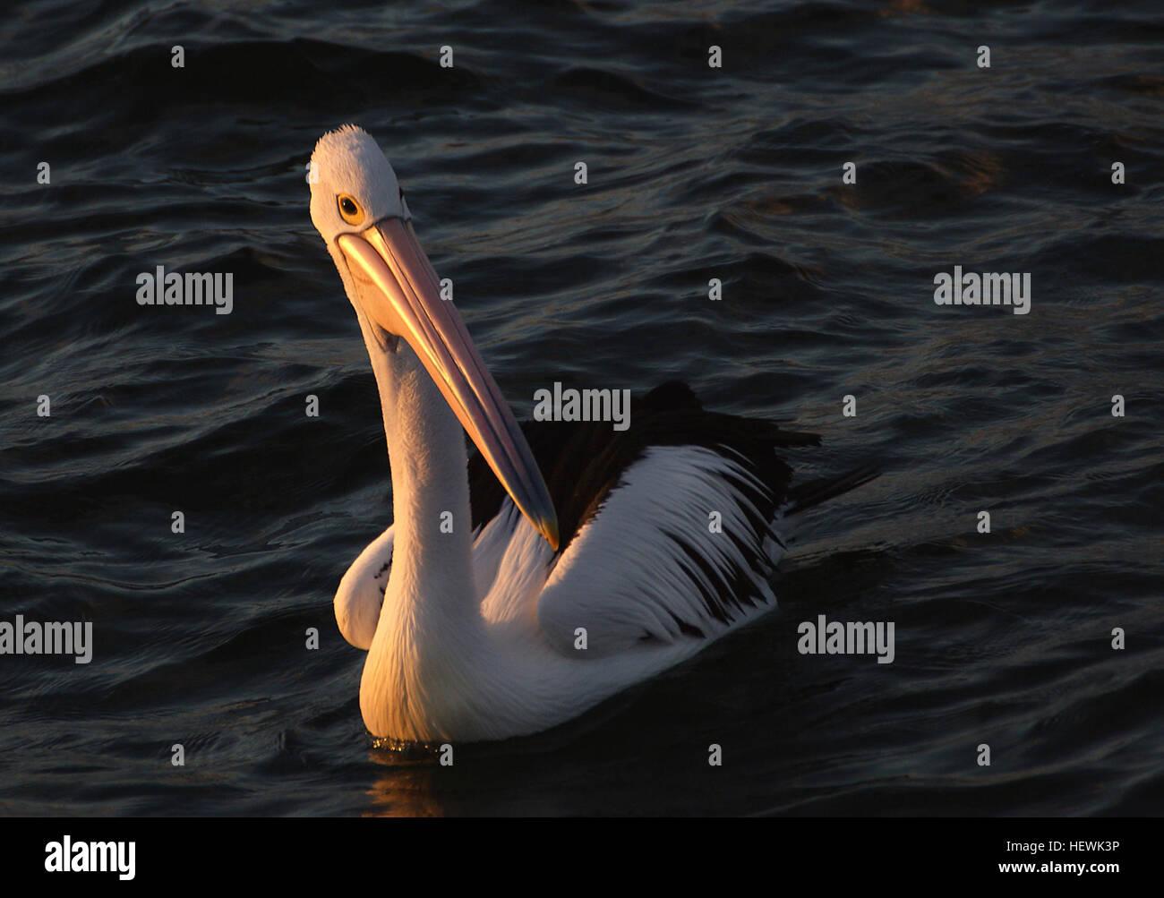 Il Roc o Rok (dal persiano رخ rokh ) è un uccello mitologico dal piumaggio bianco.
