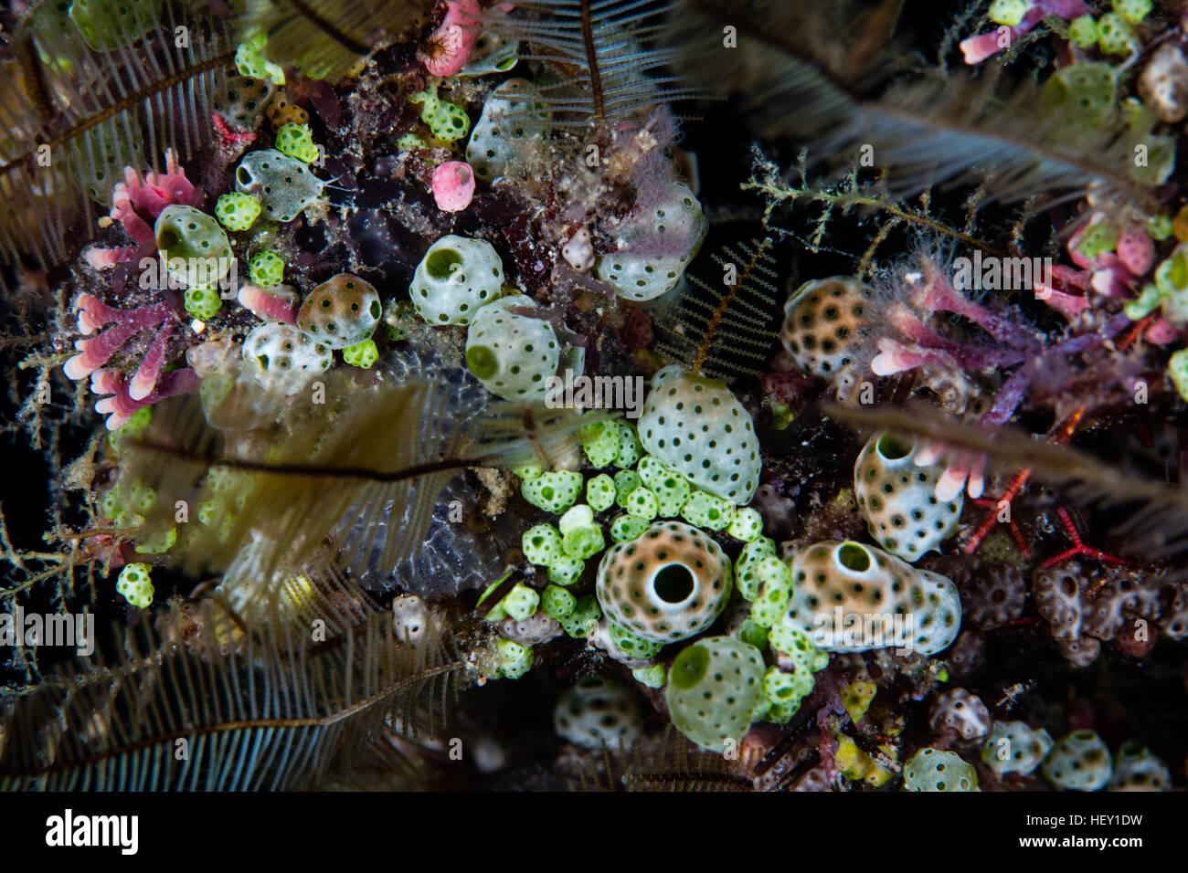 Colorato tunicati, hydroids, e altri invertebrati crescere su una scogliera di corallo nelle isole Salomone. Immagini Stock