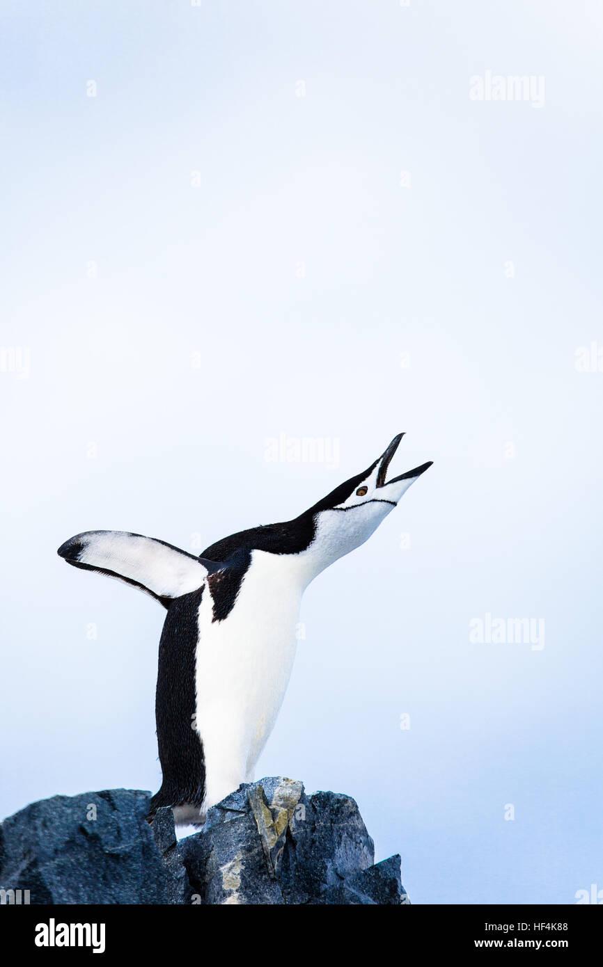 Un pinguino Chinstrap trumpts a voce alta. L'Antartide. Immagini Stock