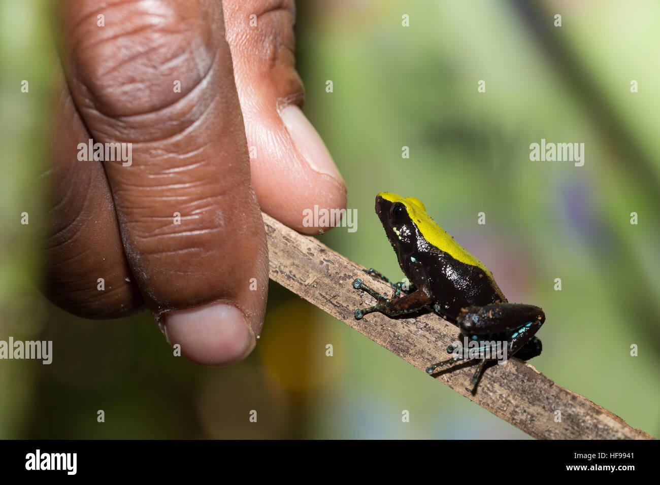 Bellissimo piccolo endemica in bianco e nero e giallo arrampicata rana Mantella (Mantella laevigata), specie di Immagini Stock