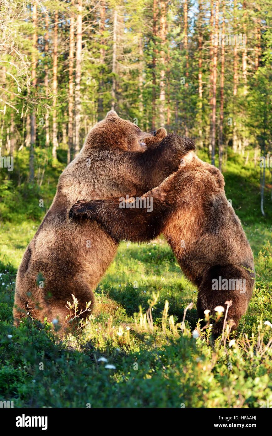 Lotta di orso Immagini Stock