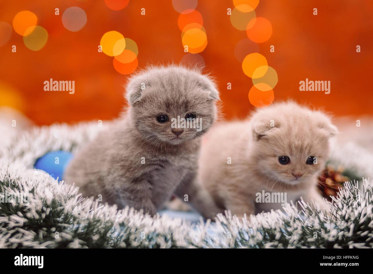Due Divertenti Grigio Scozzese Gattini Seduti Sul Tinsel Con La