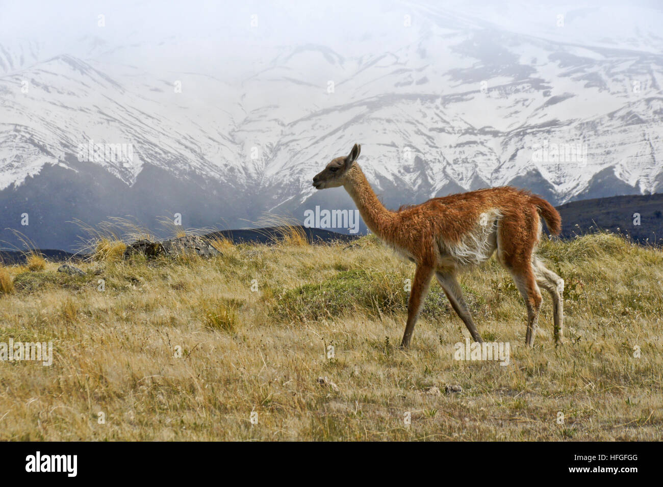 Guanaco a Torres del Paine NP, Patagonia, Cile Immagini Stock