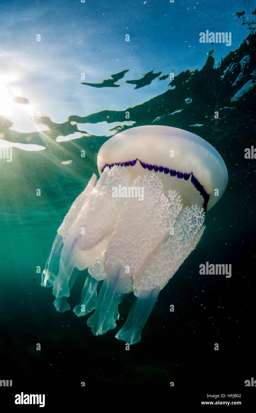 Meduse, Rhizostoma pulmo, nel Mare Mediterraneo, Comarruga, Costa Dorada, SPAGNA Immagini Stock