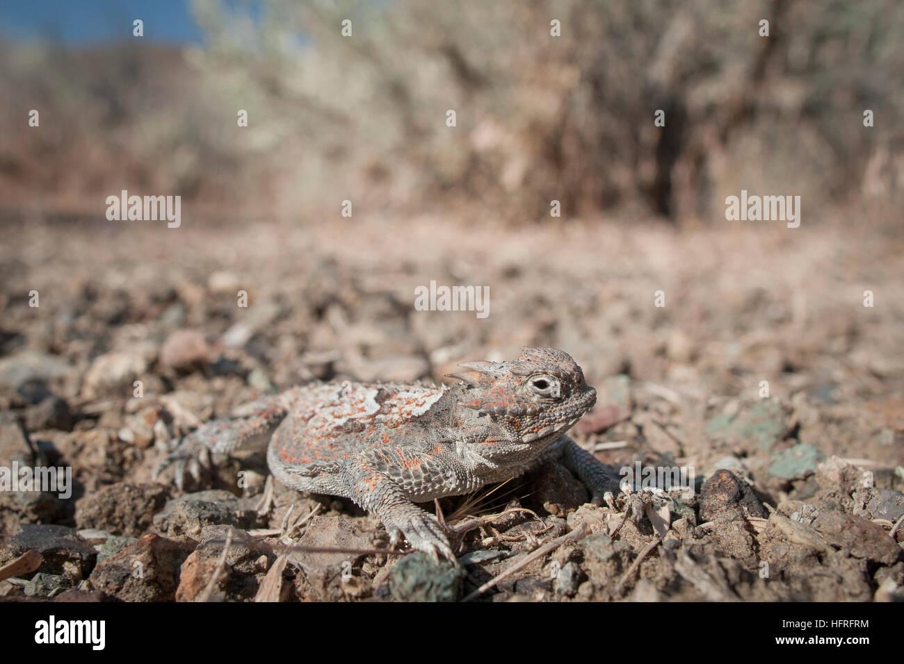 Un deserto criptico cornuto lizard (Phrynosoma platyrhinos) accovacciato sul terreno. Immagini Stock