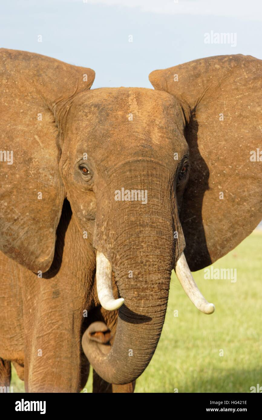 Elefante in Zimbabwe Immagini Stock