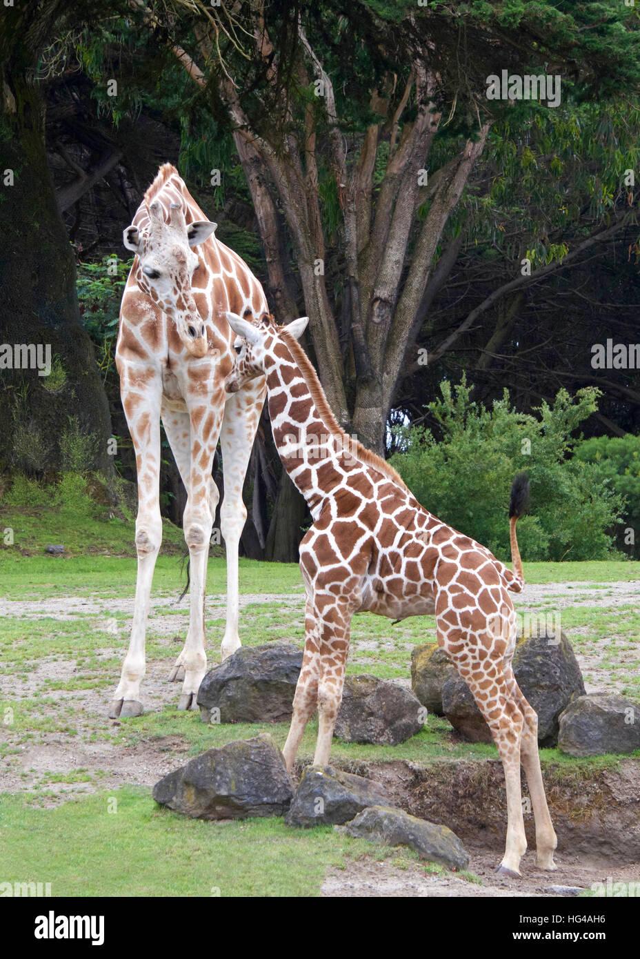 Madre giraffa con piedi rivolto verso Lui,r erba verde rocce e alberi in background, ritratto vista verticale Immagini Stock