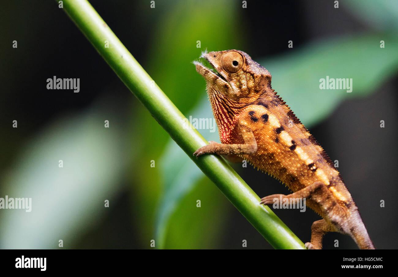 Panther chameleon (Furcifer pardalis), Ivoloina Zoological Park, Tamatave Immagini Stock