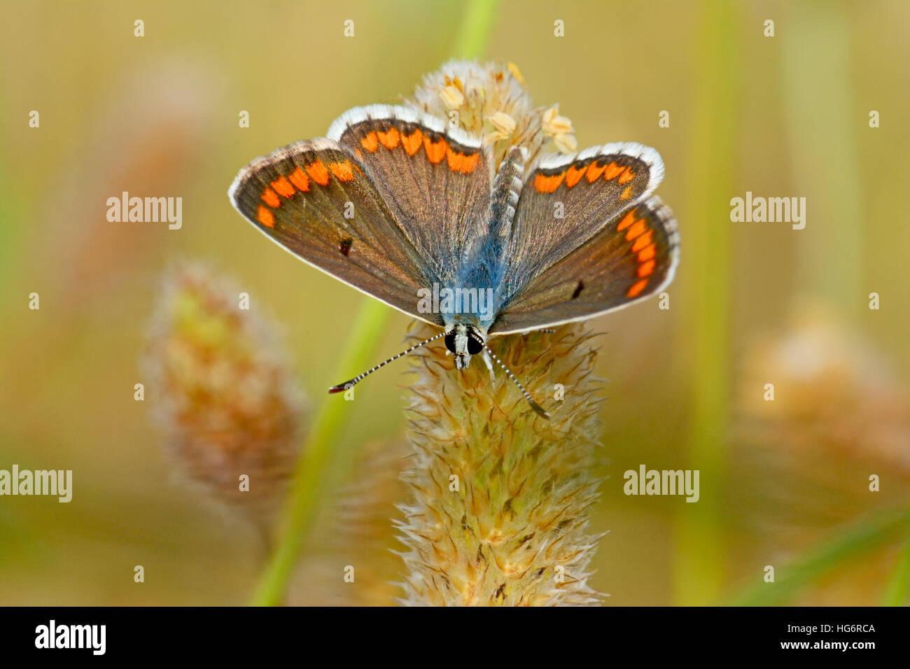 Aricia agestis butterfly, Marrone Argus Immagini Stock
