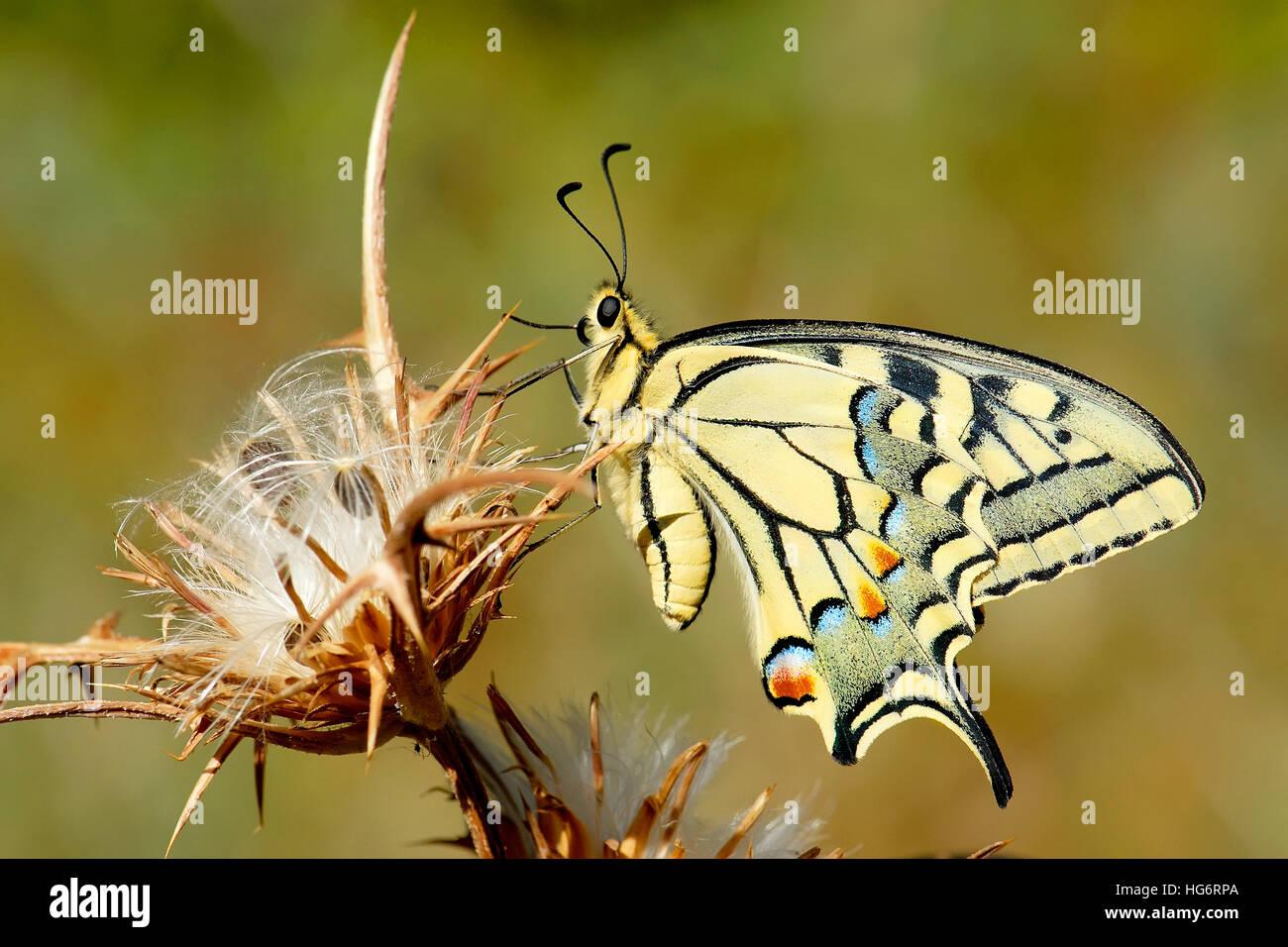 A coda di rondine, a farfalla Papilio machaon, Israele Immagini Stock