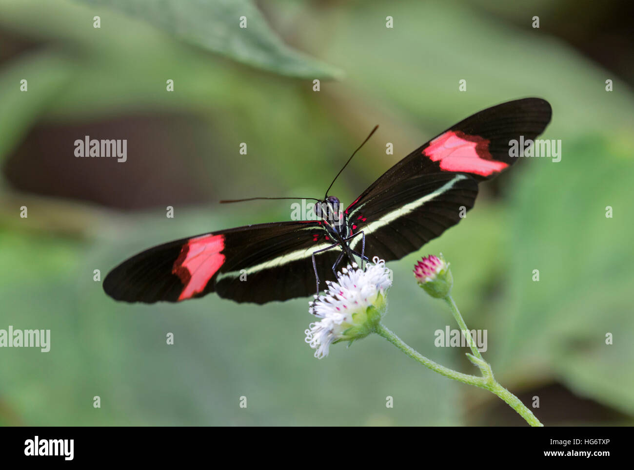 Red portalettere butterfly (Heliconius erato) alimentazione su un fiore, Belize, America Centrale Immagini Stock