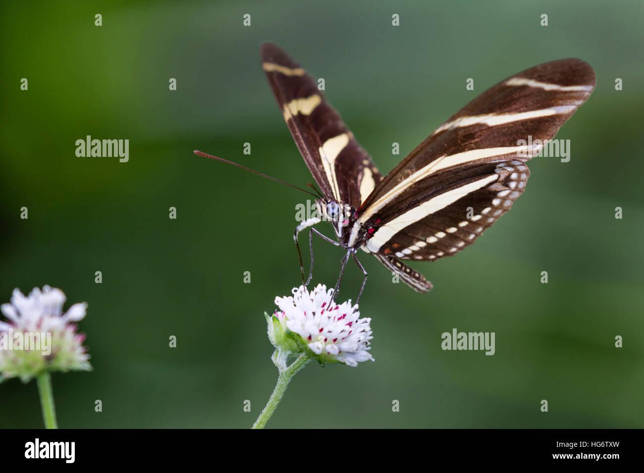 Zebra Longwing Butterfly (Heliconius charitonius) alimentazione su un fiore, Belize, America Centrale Immagini Stock