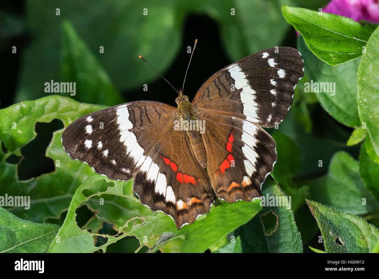 Nastrare pavone o di Fatima butterfly (Anartia Fatima), Belize, America Centrale Immagini Stock
