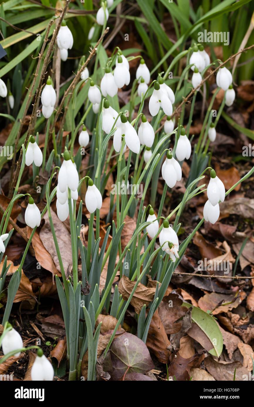 Gennaio gruppo di fioritura del gigante snowdrop, Galanthus elwesii 'Mrs McNamara' Immagini Stock