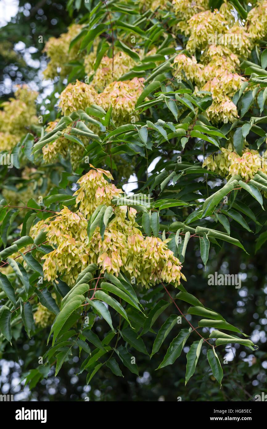 Götterbaum, Frucht, Früchte, Chinesischer Götterbaum, Ailanthus altissima, Ailanthus glandulosa, Immagini Stock
