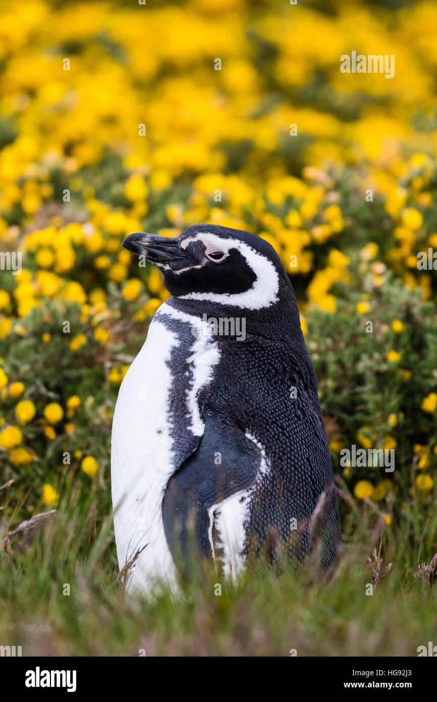 Magellanic penguin sull isola di carcassa nelle Falkland Immagini Stock