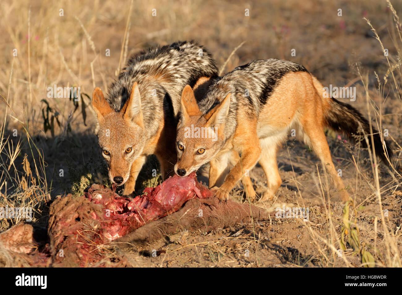 Nero-backed sciacalli (Canis mesomelas scavenging) su una carcassa, Sud Africa Immagini Stock