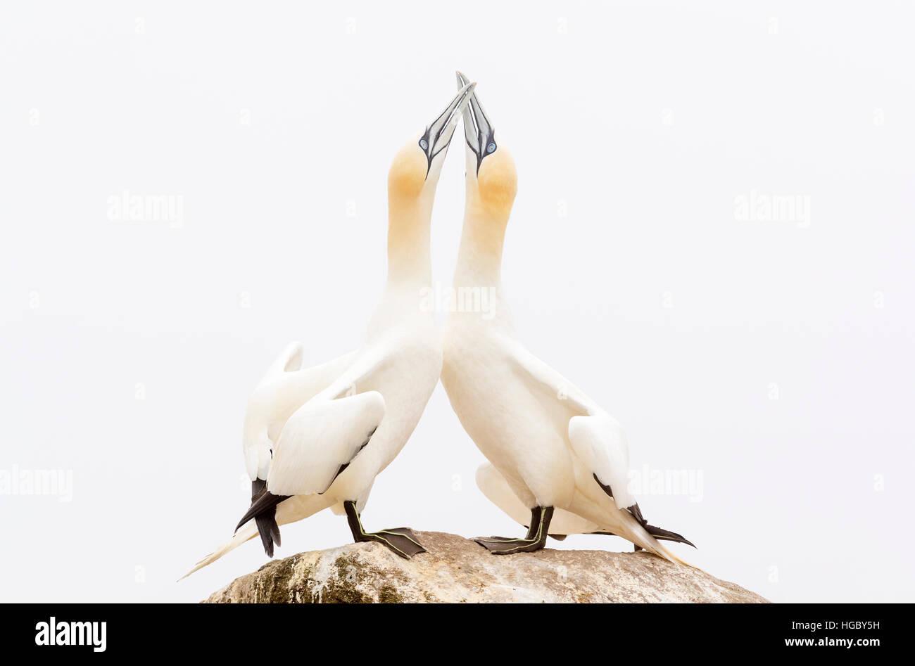 Northern Gannet (Morus bassanus) Coppia adulta, la visualizzazione permanente sulla roccia, grande Saltee, Isole Immagini Stock