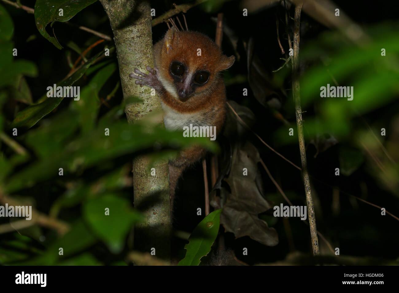 Arnhold il lemure del mouse o Montagne d'Ambre mouse lemur Microcebus (arnholdi), Ambra Mountain National Park, Immagini Stock