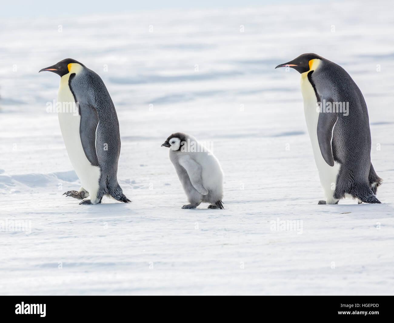 Un pinguino imperatore pulcino su una passeggiata tra due adulti Immagini Stock