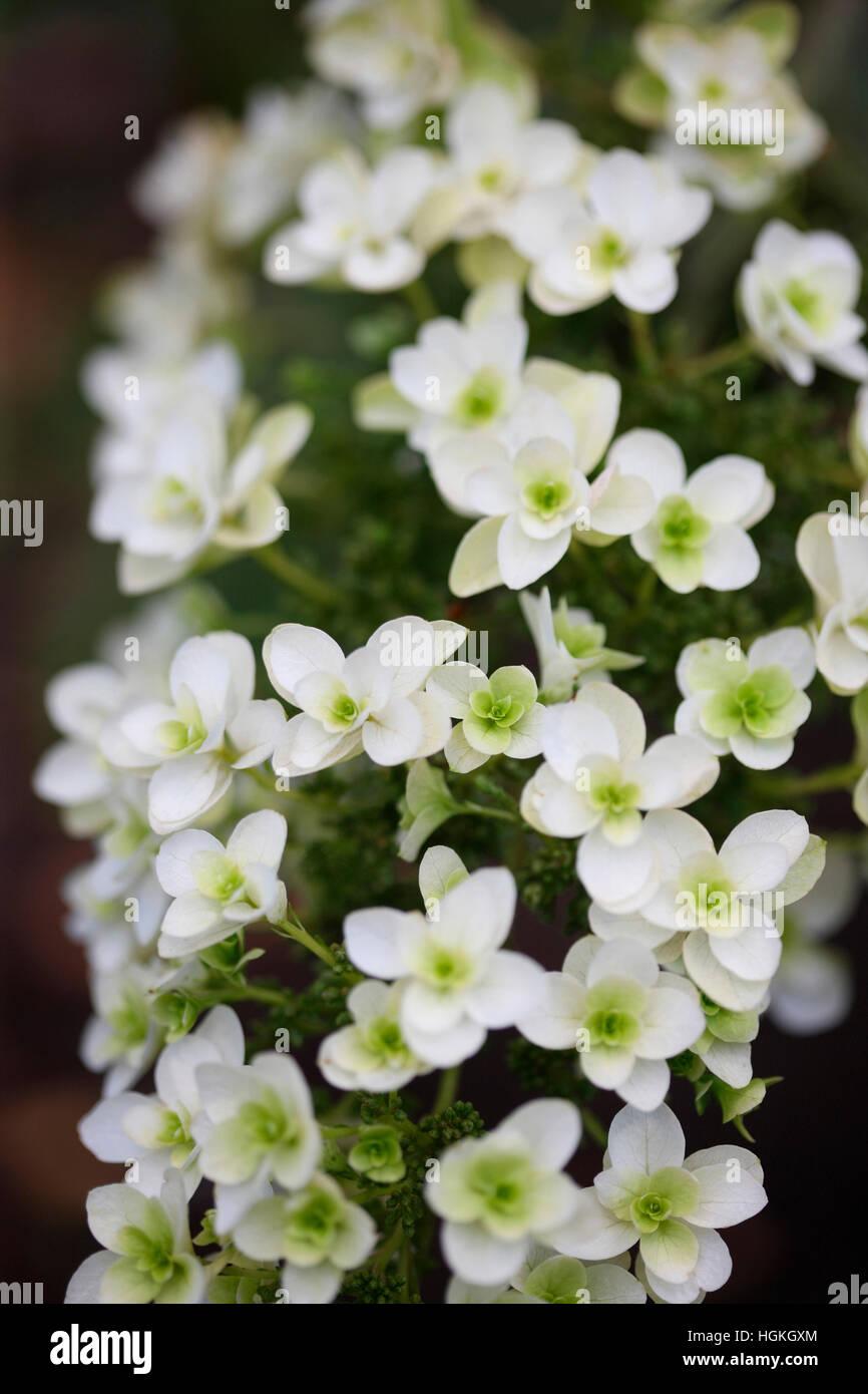 Dolce bianca fioritura estiva hydrangea 'snowflake' - prosperare Jane Ann Butler JABP Fotografia1772 Immagini Stock